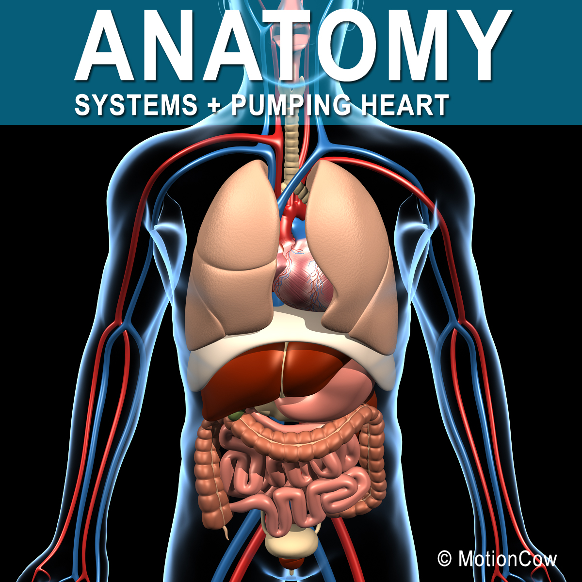 Human Anatomy – MotionCow