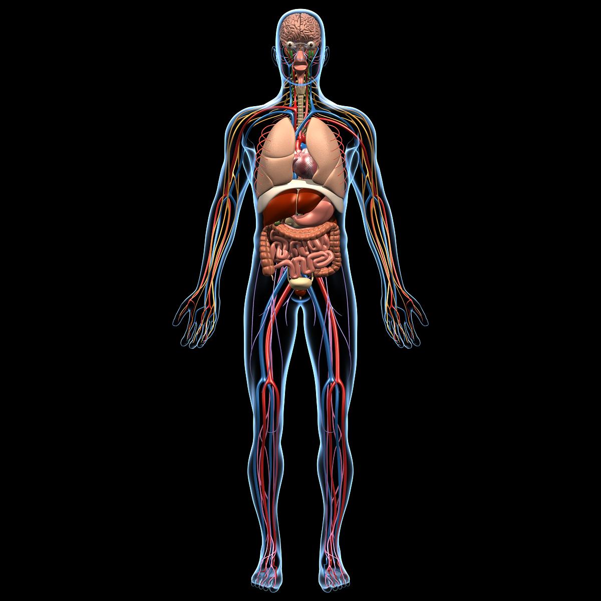 Human Anatomy Brain & Nervous System