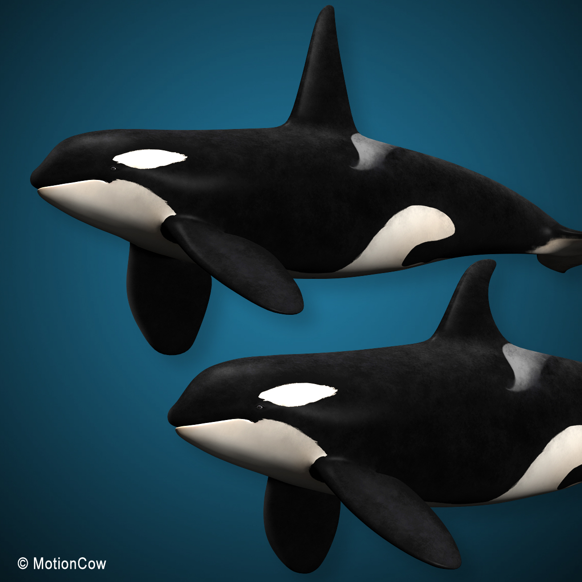 orca  killer whale  family  u2013 motioncow