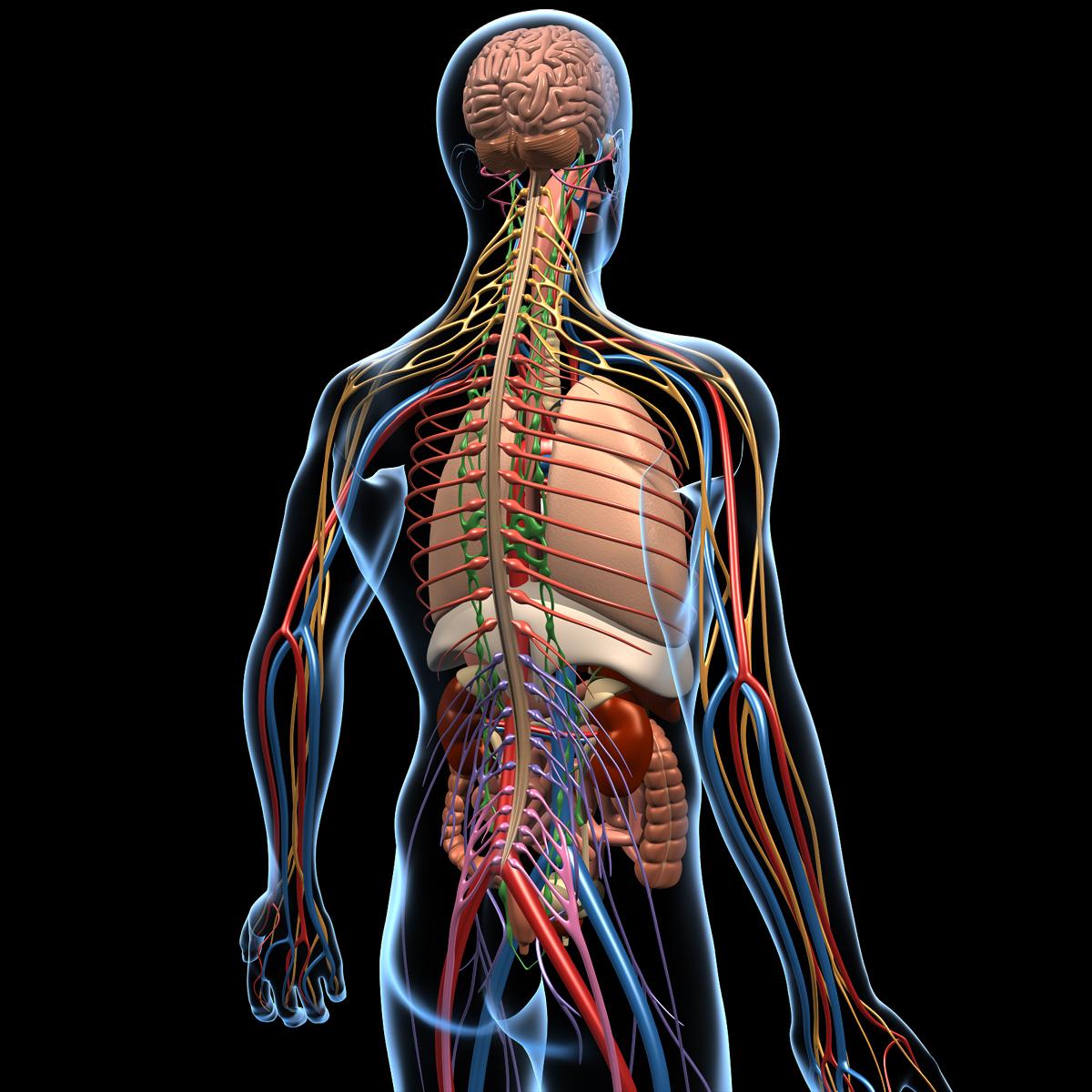 Human Anatomy Brain & Nervous System - MotionCow